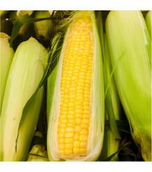 Kukurica cukrová Golden Bantam - Zea Mays - semená Kukurice - semiačka - 16 ks