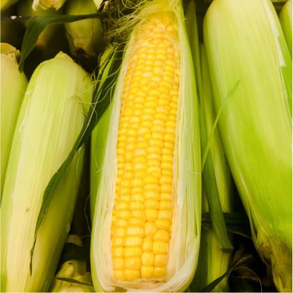 Kukurica cukrová Golden Bantam - Zea Mays - semená - 16 ks