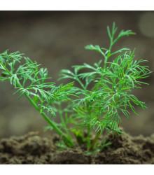BIO Kôpor voňavý Hera - Anethum graveolens - semená - 1 g