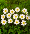 Georgína Topmix biela - Dahlia - cibuľoviny - 1 ks