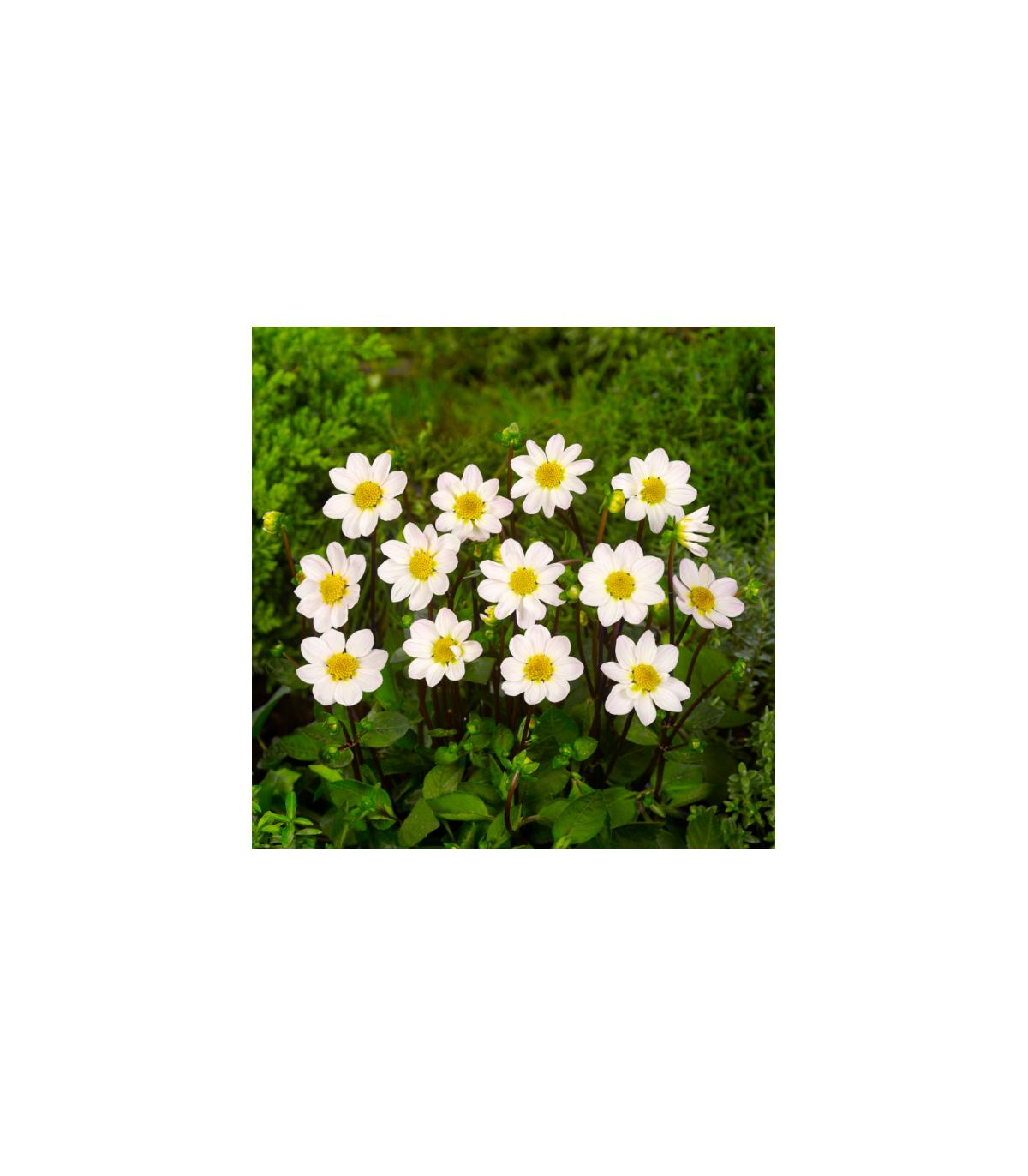 Georgína topmix - biela - predaj cibuliek - 1 ks