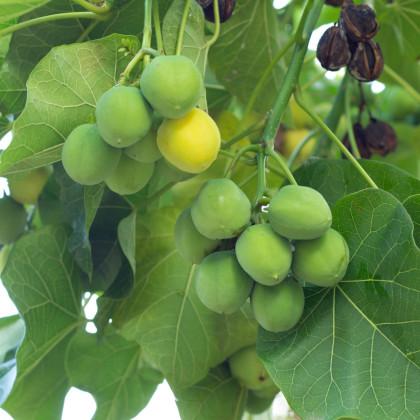 Jatrofa prečisťujúca - Jatropha curcas - semená jatrofy - 5 ks