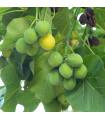 Dávivec čierny - Jatropha curcas - predaj semien dávivca - 5 ks