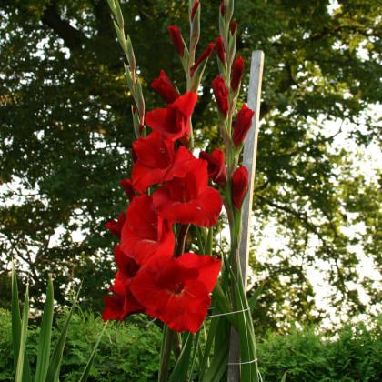 Mečík červený - Gladiolus Hunting song - gladioly - cibuľoviny - 3 ks