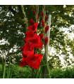 Gladiol červený Hunting song - cibuľky gladiol - 3 ks