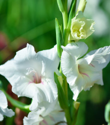 More about Mečík biely - Gladiolus White Prosperity - gladioly - cibuľoviny - 3 ks