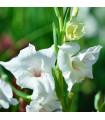Gladiol White Prosperity - mečík biely - predaj jarných cibuľovín 3 ks
