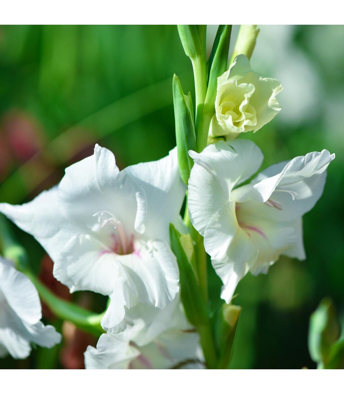 Mečík biely - Gladiolus White Prosperity - gladioly - cibuľoviny - 3 ks