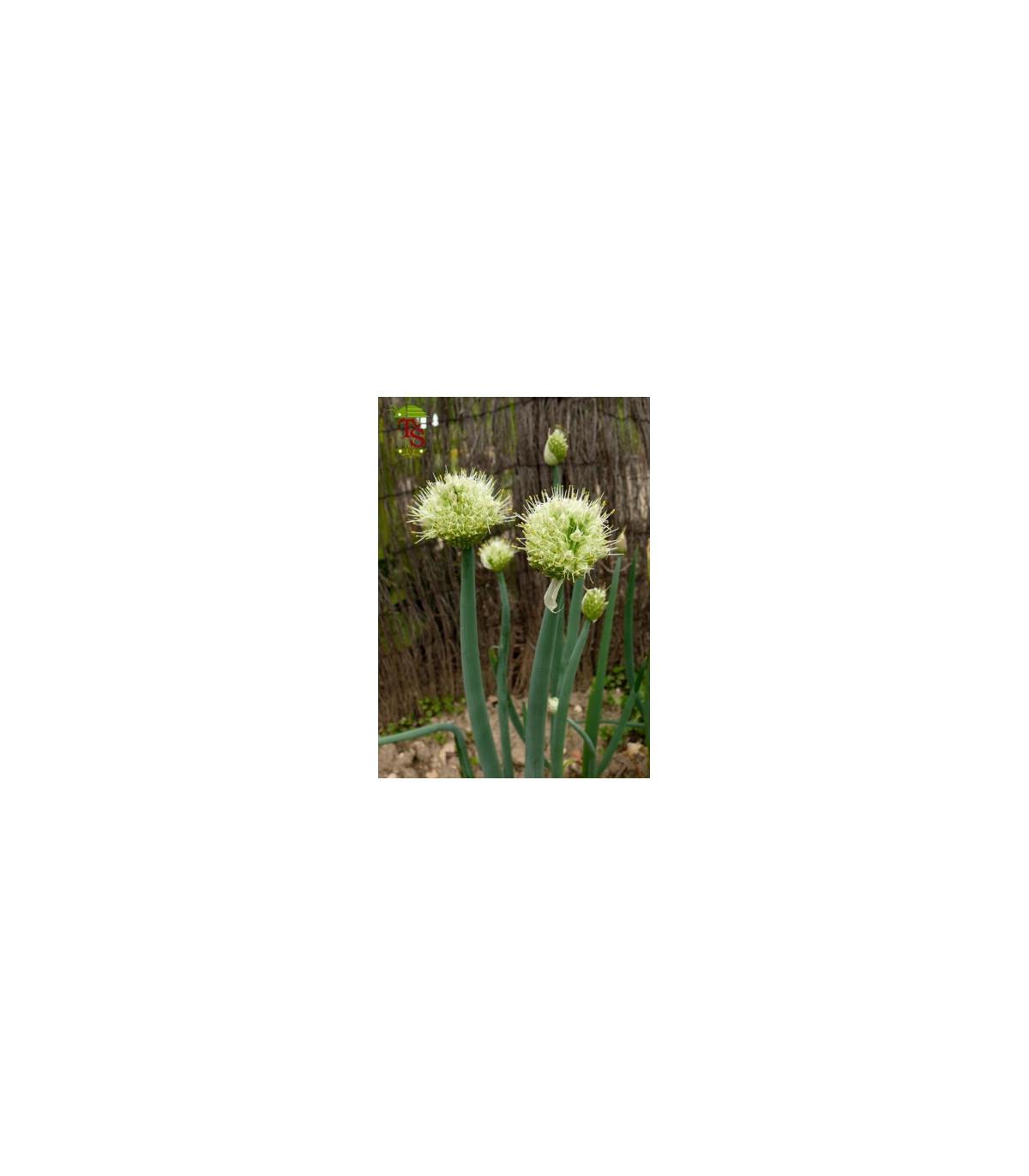 Cibuľa zimná - Allium fistulosum L. - semená cibule - 1 gr