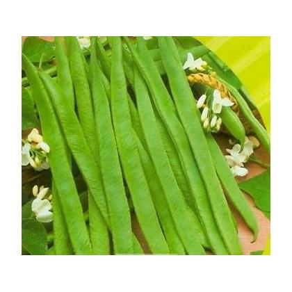Fazuľa kolíková biela - Phaseolus vulgaris - predaj semien - 2 gr
