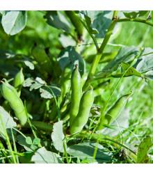 Bôb záhradný - Vicia faba - semená - 15 ks