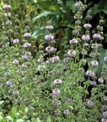 Mäta kobercová - Mentha pulegium - semená - 25 ks