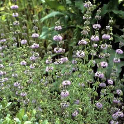Mäta kobercová - Mentha pulegium - predaj semien mäty - 25 ks