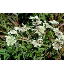 Americká horská mäta - Pycnanthemum pilosum - semená - 20 ks