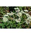 Americká horská mäta - Pycnanthemum pilosum - predaj semien - 20 ks