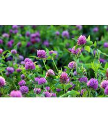 Ďatelina červená lúčna - Trifolium pratense - semená ďateliny - semiačka - 100 ks