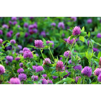 Ďatelina červená lúčna - predaj semien ďateliny - rastlina Trifolium pratense - 100 ks