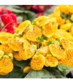 Pantoflíček celolistý- Calceolaria- seman- 5 ks