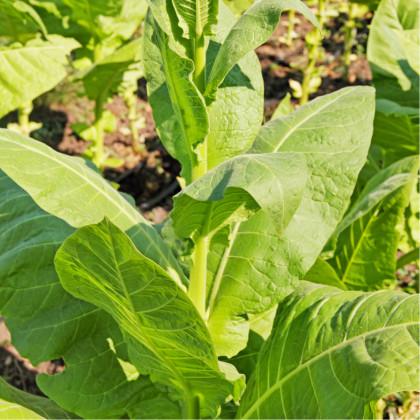 Tabak Madole - rastlina Nicotiana tabacum - semená tabaku - 20 ks