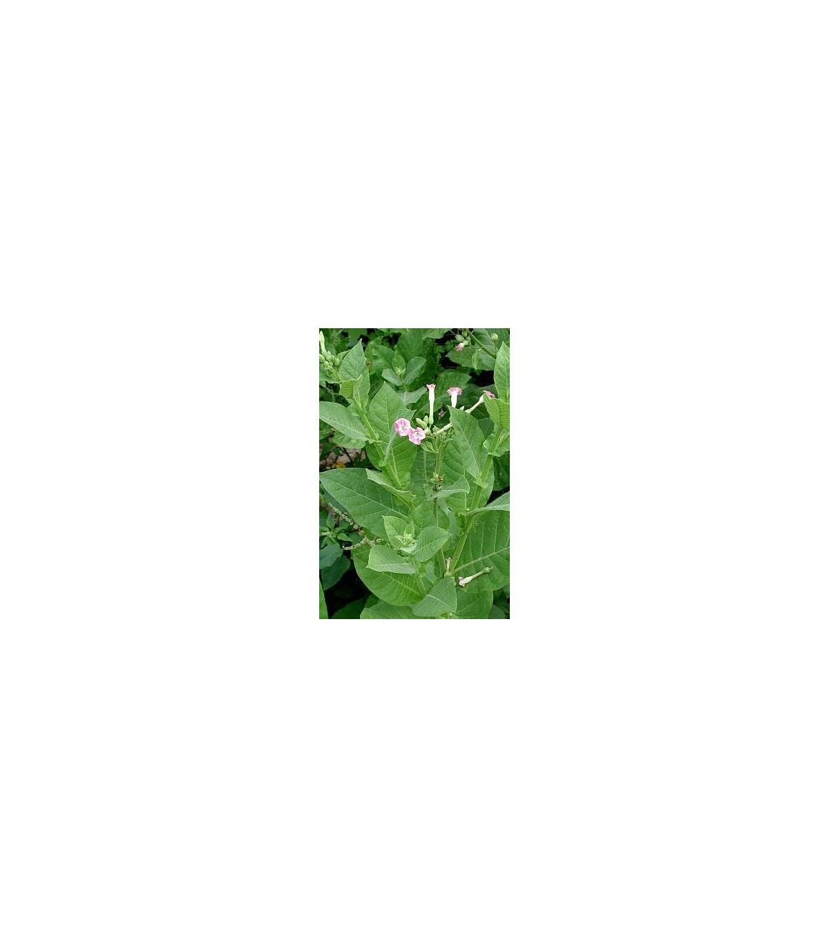 Tabak Orinoco - Nicotiana tabacum - semená tabaku - 25 ks