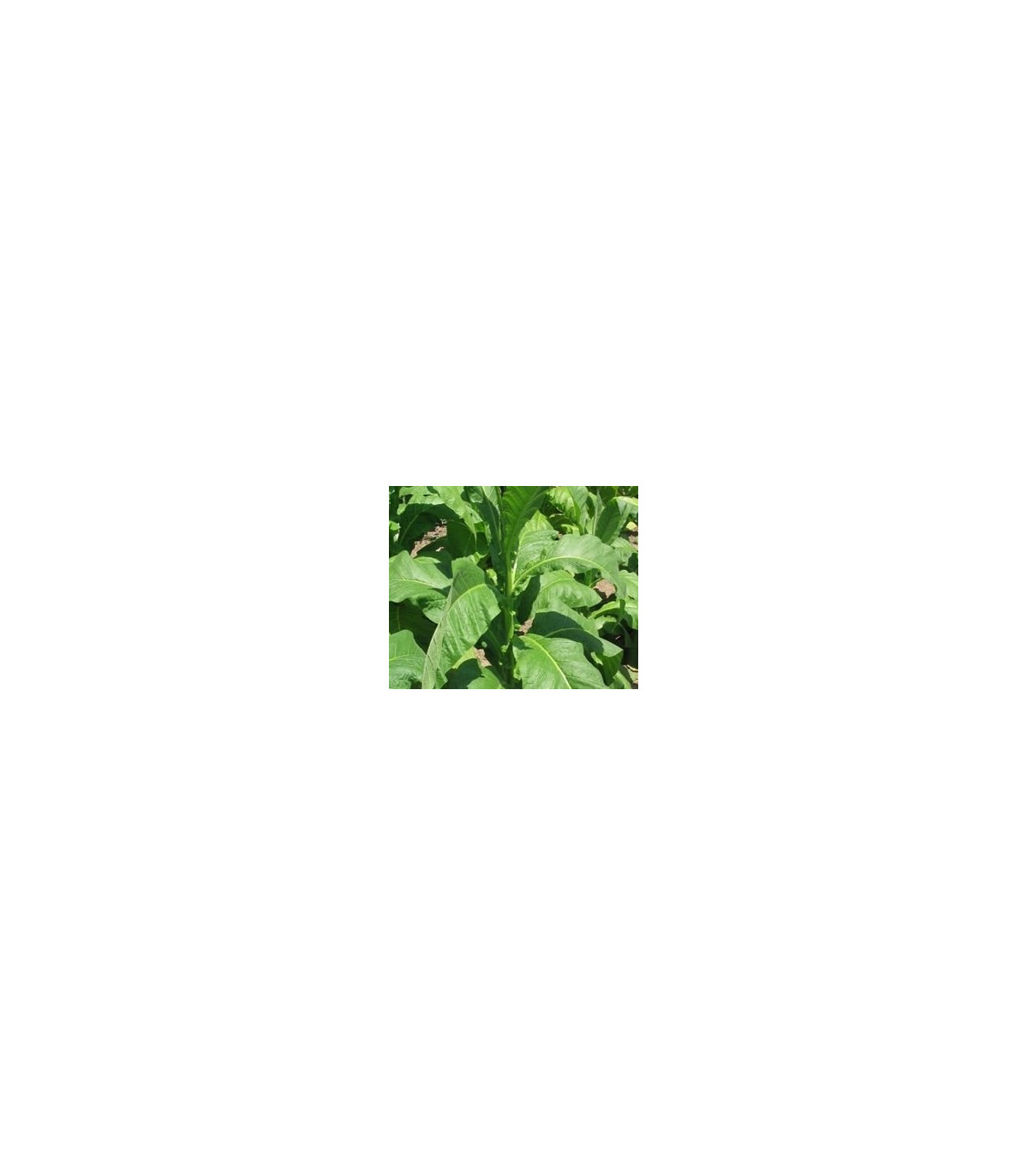 Tabak Hnedý List - Nicotiana tabacum - semená tabaku - 25 ks
