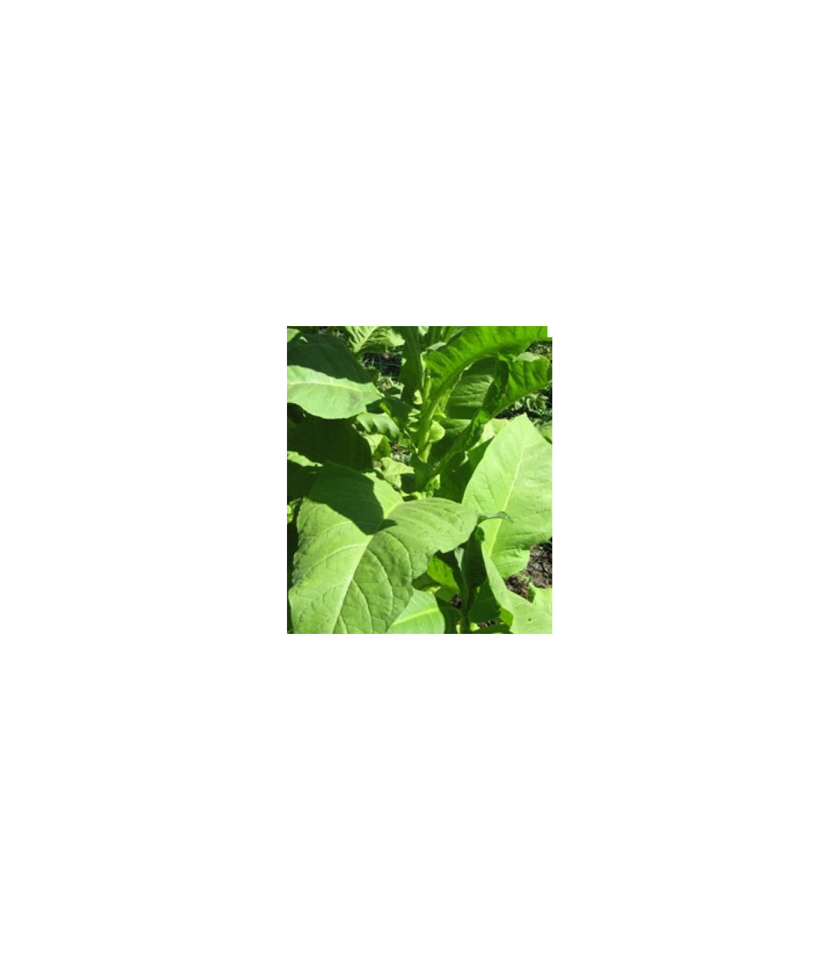 Tabak Green wood - Nicotiana tabacum - semená tabaku - 25 ks