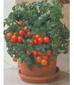 Paradajka Patio - predaj semien paradajok - 6 ks
