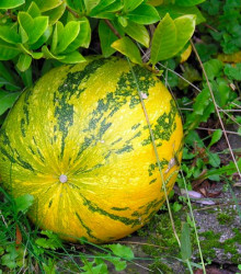 Tekvica veľkoplodá - Cucurbita maxima - semená tekvice - semiačka - 10 ks