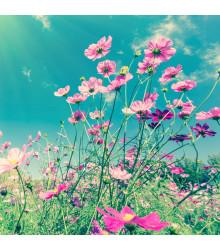 Zmes letničiek Záhradný sen - ružová - semená - 0,9 g