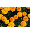 Aksamietnica vzpriamená obrovská - Sunset - Tagetes erecta - semená Aksamietnica - 0,3 g