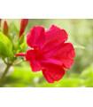 Nocovka jalapovitá - červená - Mirabilis Jalapa - predaj semien - 1 g