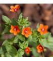 Drchnička roľná - Anagallis arvensis - predaj semien letničiek - 20 ks