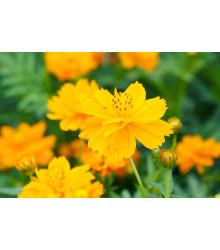 Krasuľka perovitá žltá Sunset - Cosmos sulphureus - semená - 40 ks
