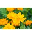 Krasuľka žltá Sunset - Cosmos sulphureus - semená krasuľka perovitá - 40 ks