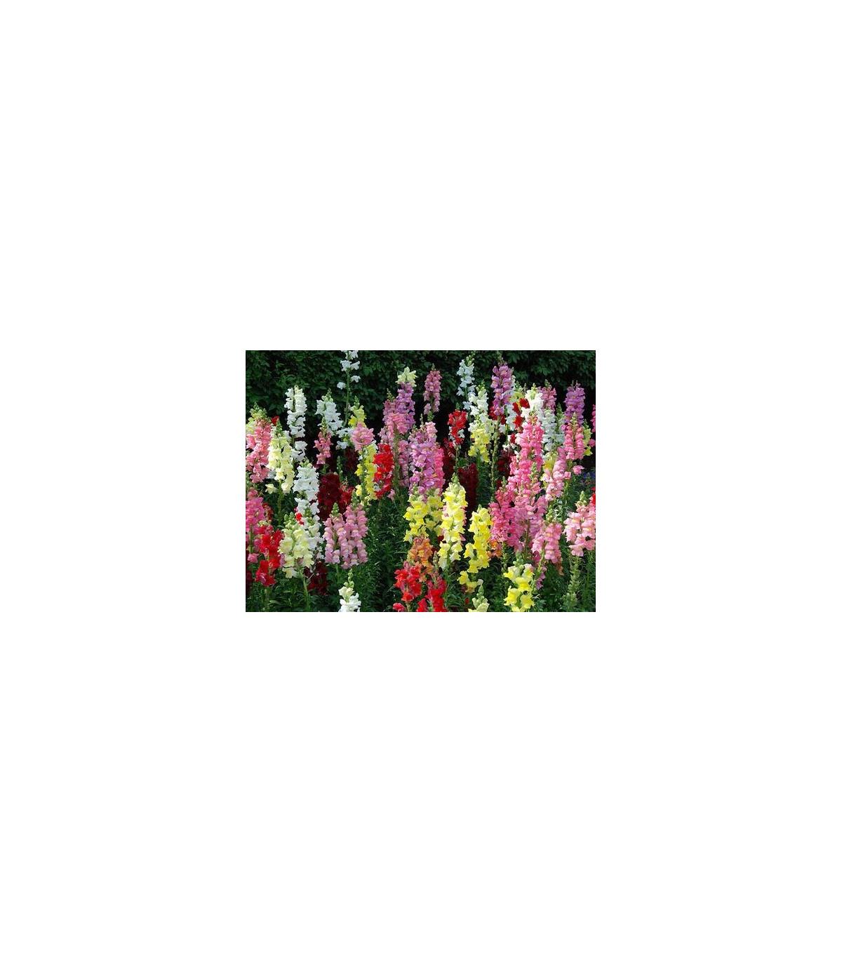Papuľka väčšia - Antirrhinum majus - semená papuľky - semiačka - 0,2 g