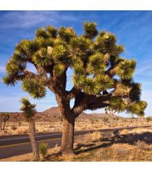 Juka krátkolistá - Yucca brevifolia - Joshua tree - semená - 6 ks