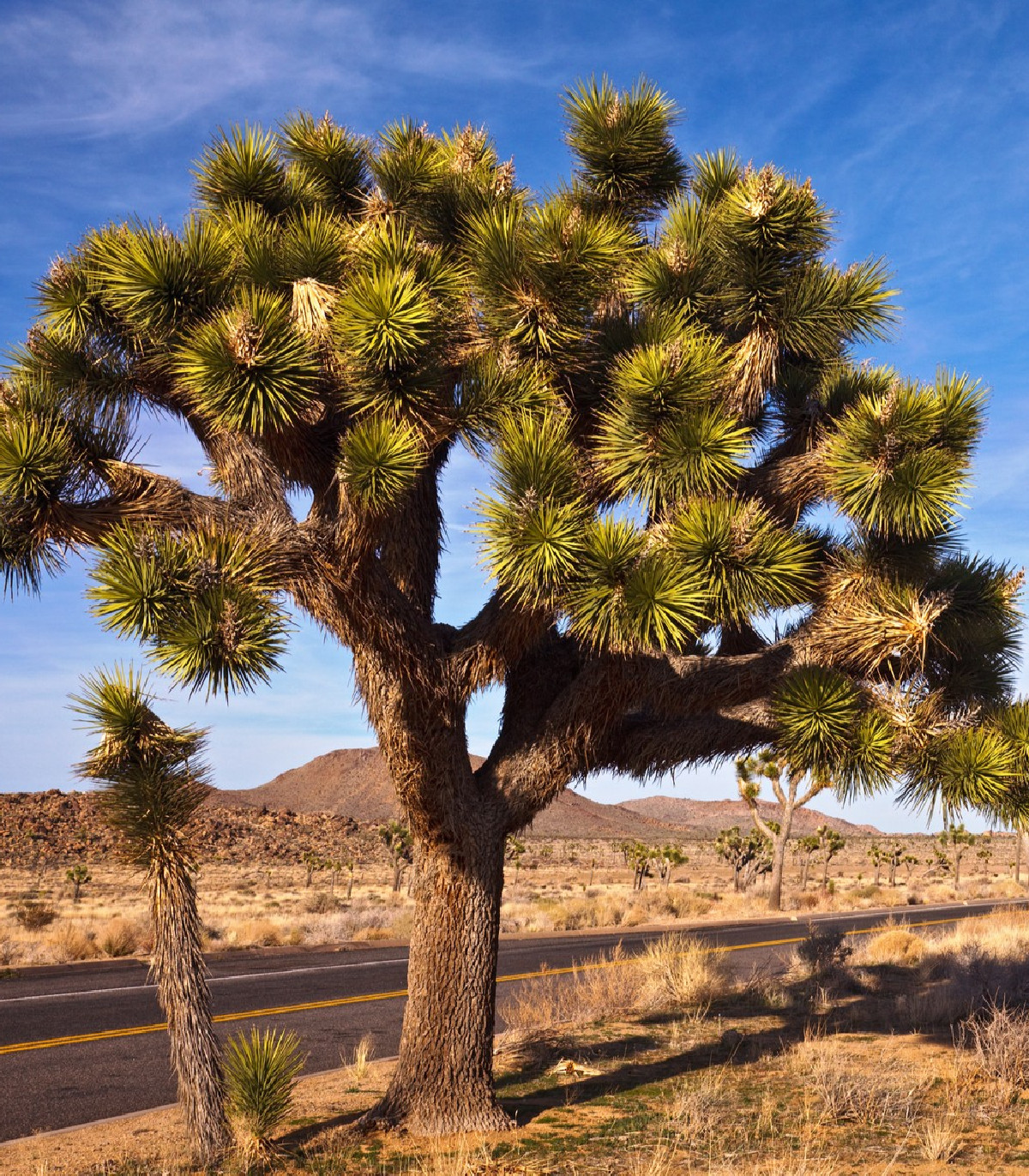Juka krátkolistká - Yucca brevifolia - Joshua tree - semená juky - semiačka - 6 ks
