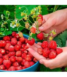 Lesné jahody Mignonette - Fragaria vesca - semená lesných jahôd - semiačka - 10 ks