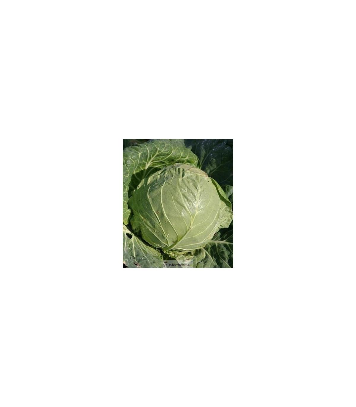 BIO Biela kapusta Premier - Brassica oleracea - semená kapusty - semiačka - 0,3 gr