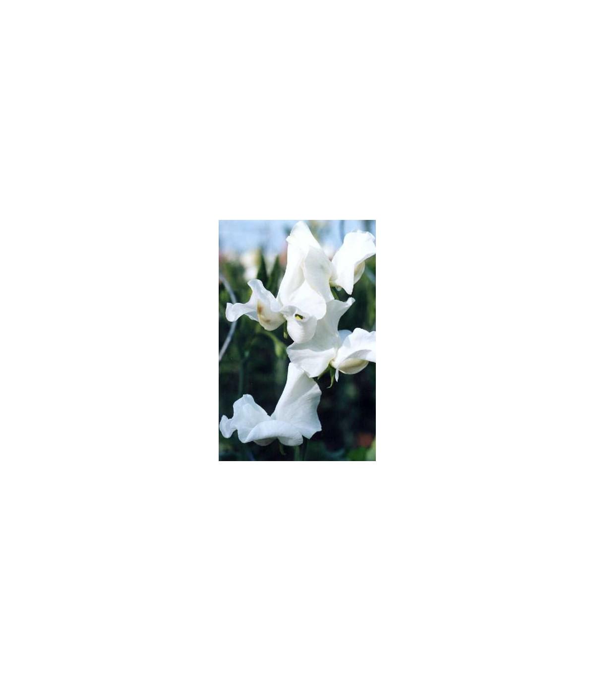 Hrachor voňavý kráľovský biely - Lathyrus odoratus - semená hrachora - semiačka - 20 ks