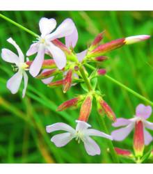 Mydlica lekárska - Saponaria officinalis - semená - 15 ks