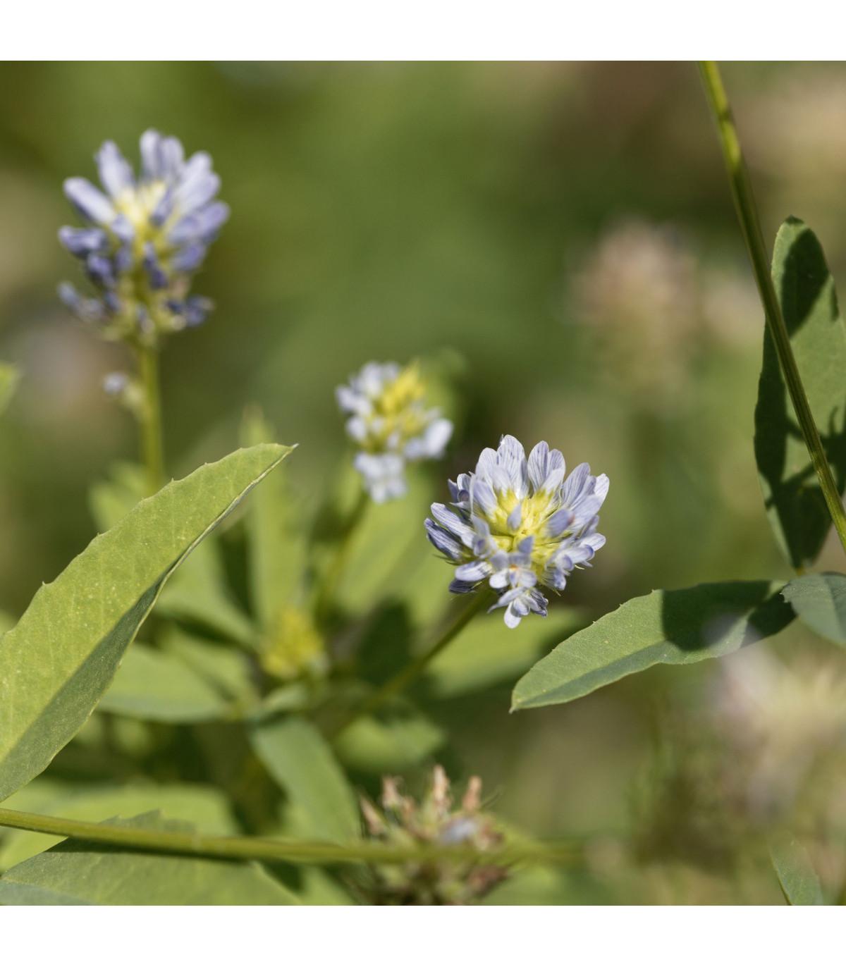 Senovka belasá - Trigonella caerulea - semená senovky - semiačka - 1,5 gr
