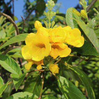 Trubkovec - Tecoma fulva - semená trubkovca - semiačka - 10 ks