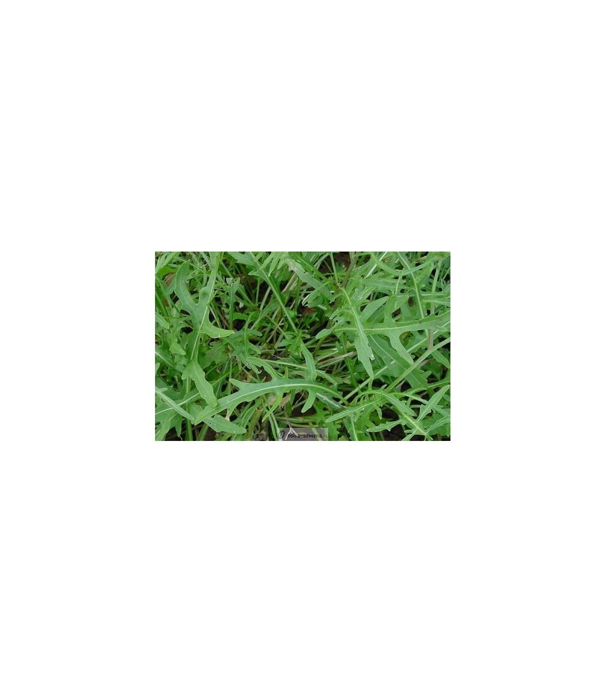 BIO Rukola Roma - Diplotaxis tenuifolia - semená rukoly - semiačka - 50 ks