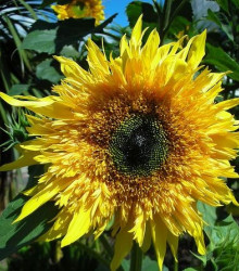 More about Slnečnica F1 Surprise - Helianthus annuus - semená slnečnice - semiačka - 7 ks