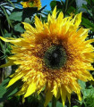 Slnečnica F1 Surprise - Helianthus annuus - semená slnečnice - semiačka - 7 ks