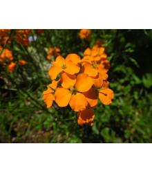More about Cheirant sibírsky - Cheiranthus allionii - semená - 1 g