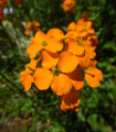 Cheirant sibírsky - Cheiranthus allionii - semená - 1 g