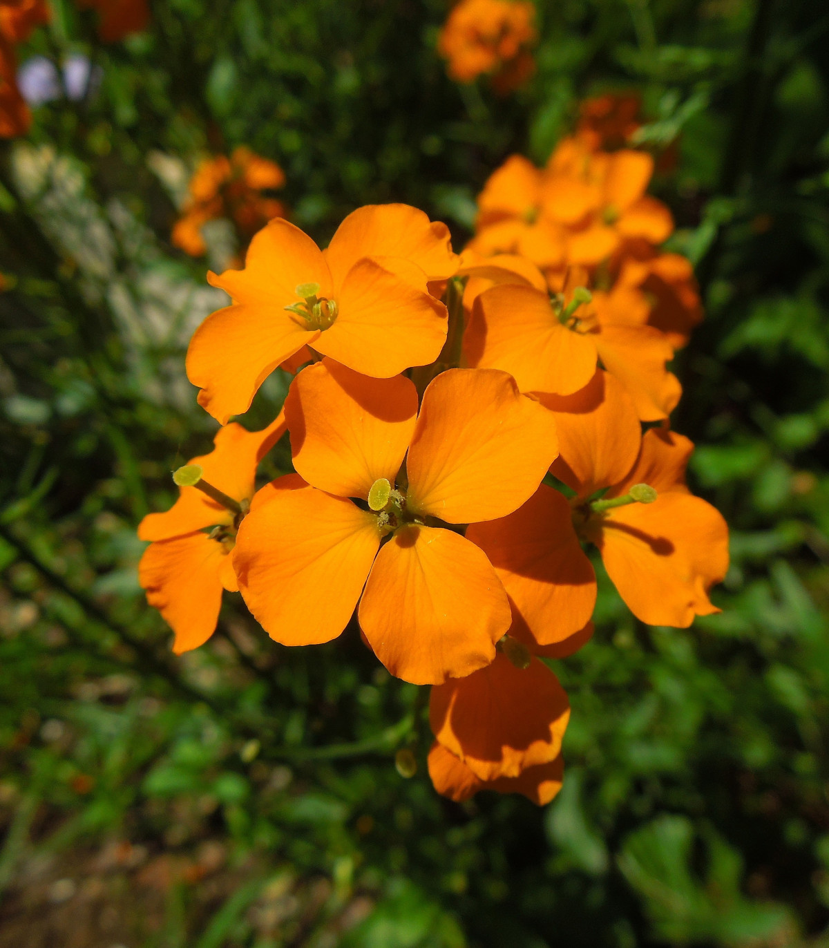 Cheirant sibírsky - Cheiranthus allionii - semená - 500 ks
