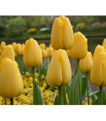 Tulipán Candela - Tulipa - cibuľoviny - 3 ks